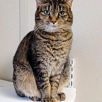 Domestic Shorthair Cat for adoption in Fremont, Ohio - Momma
