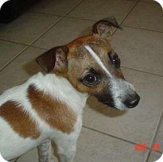 Jack Russell Terrier Dog for adoption in Cantonment, Florida - Max