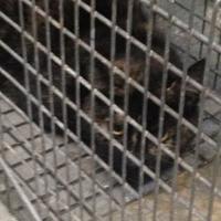 Adopt A Pet :: Cali - Clarkesville, GA