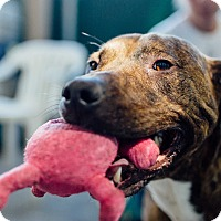 American Pit Bull Terrier/Plott Hound Mix Dog for adoption in Seattle, Washington - Mack