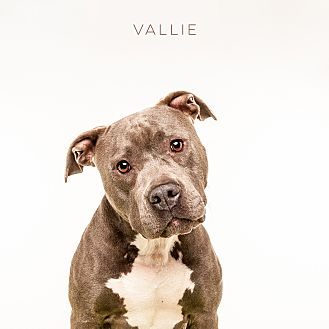 American Staffordshire Terrier Mix Dog for adoption in Vancouver, British Columbia - Vallie