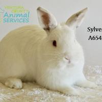 Adopt A Pet :: *SYLVESTER - Camarillo, CA