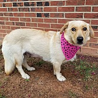 Adopt A Pet :: Darla - Lexington, NC