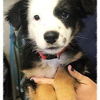 Adopt A Pet :: Miele - Los Alamitos, CA