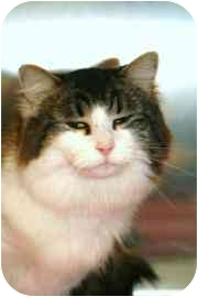 Domestic Longhair Cat for adoption in Walker, Michigan - Daisy
