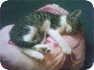 Domestic Shorthair Kitten for adoption in Haughton, Louisiana - Bubba