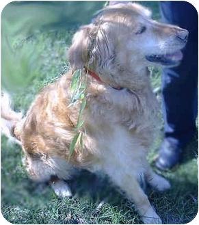 Golden Retriever Dog for adoption in Evergreen, Colorado - Watson