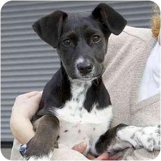 Pointer Mix Puppy for adoption in Berkeley, California - Trixie