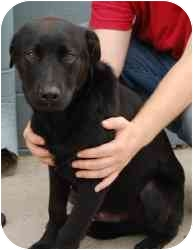 Labrador Retriever Mix Dog for adoption in Gallatin, Tennessee - Cooper
