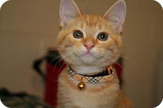 Domestic Shorthair Kitten for adoption in Allentown, Pennsylvania - Pepsi