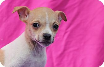 Terrier (Unknown Type, Small) Mix Puppy for adoption in Marion, North Carolina - Bitz