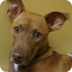 Hound (Unknown Type)/Greyhound Mix Puppy for adoption in Eatontown, New Jersey - Tara