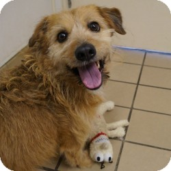 Wirehaired Fox Terrier/Corgi Mix Dog for adoption in Eatontown, New Jersey - Max