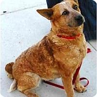 Adopt A Pet :: Foxy *Adoption Pending* - Phoenix, AZ