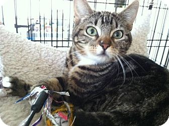 Domestic Shorthair Cat for adoption in Santa Monica, California - Serena