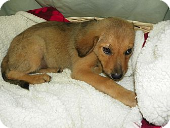 Hound (Unknown Type) Mix Puppy for adoption in Waldorf, Maryland - Harry