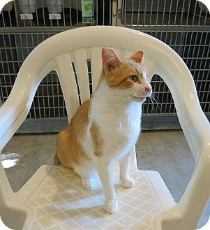 Domestic Shorthair Cat for adoption in Geneseo, Illinois - Hugo