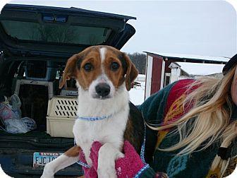 Beagle Mix Dog for adoption in Liberty Center, Ohio - Cindy