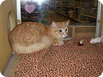 Domestic Mediumhair Cat for adoption in McHenry, Illinois - Cuda