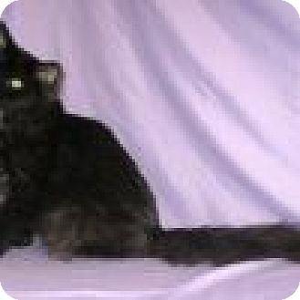 Domestic Mediumhair Cat for adoption in Powell, Ohio - Grover