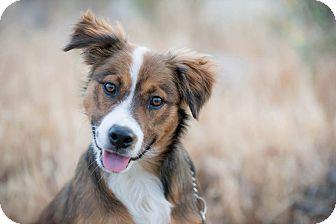 Australian Shepherd Mix Puppy for adoption in San Diego, California - IKE