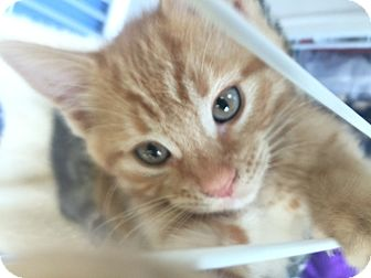 Domestic Shorthair Kitten for adoption in SHELBY TWP, Michigan - Zackery