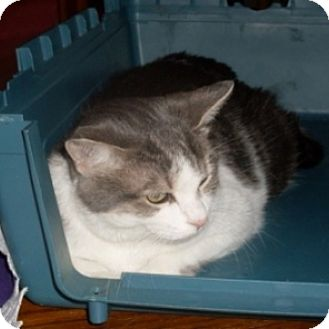 Domestic Shorthair Cat for adoption in St. Charles, Illinois - Jilly Bean