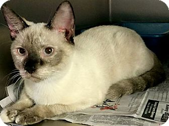 Siamese Kitten for adoption in Chattanooga, Tennessee - Chula