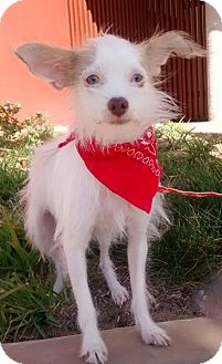 Chihuahua/Terrier (Unknown Type, Small) Mix Dog for adoption in San Diego, California - BELLA