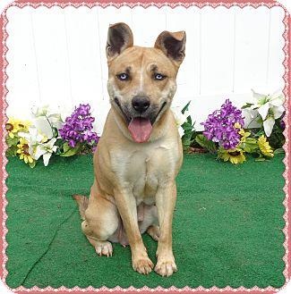 Shepherd (Unknown Type)/Husky Mix Dog for adoption in Marietta, Georgia - CASEY
