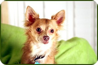 Pomeranian/Chihuahua Mix Dog for adoption in Dallas, Texas - Tyler
