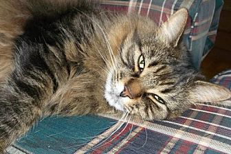 Domestic Longhair Cat for adoption in Montreal, Quebec - Isabelle