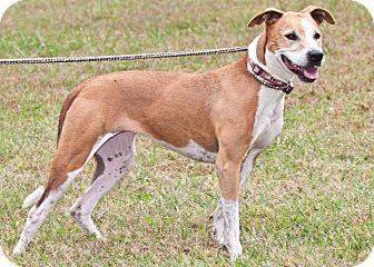 Pit Bull Terrier/Greyhound Mix Dog for adoption in Cashiers, North Carolina - Aubie