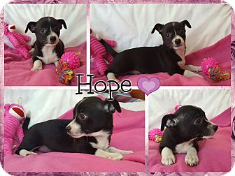 Cavalier King Charles Spaniel/Chihuahua Mix Puppy for adoption in Foster, Rhode Island - Hope