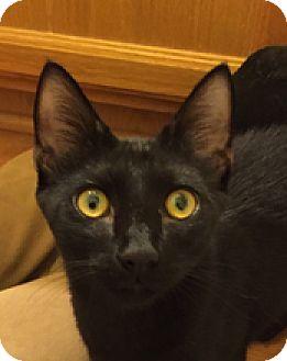 Domestic Mediumhair Kitten for adoption in Tucson, Arizona - Mr. Purr-fect