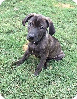 Labrador Retriever Mix Puppy for adoption in Rochester, New Hampshire - Miss Tigger