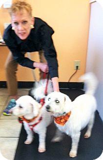 Bichon Frise Dog for adoption in Plain City, Ohio - Tucker