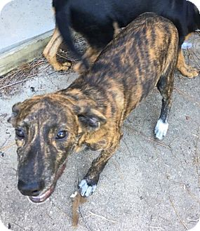Plott Hound Mix Puppy for adoption in Beaumont, Texas - MAPLE