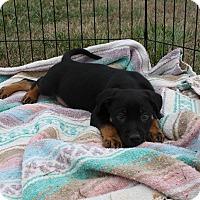 Adopt A Pet :: Jupiter $250 - Seneca, SC