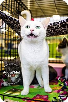 Domestic Shorthair Cat for adoption in Charlotte, North Carolina - A..  Melina