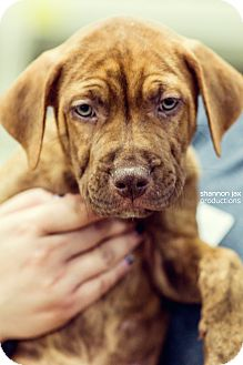 Pit Bull Terrier Mix Puppy for adoption in Gainesville, Florida - Honor