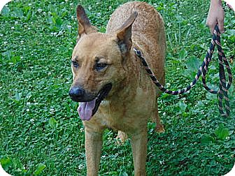 German Shepherd Dog/Labrador Retriever Mix Dog for adoption in Greeneville, Tennessee - Michael