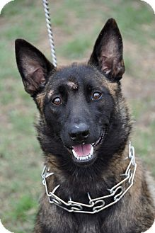 Belgian Malinois Dog for adoption in Dripping Springs, Texas - Ellie