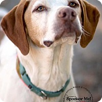 Brittany/Pointer Mix Dog for adoption in Dansville, New York - AZ/BUSTER