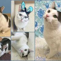 Adopt A Pet :: Atlas - Joliet, IL