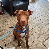 Adopt A Pet :: Ben - Pinellas Park, FL