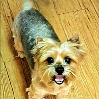 Yorkie, Yorkshire Terrier Dog for adoption in Whiting, New Jersey - Parker