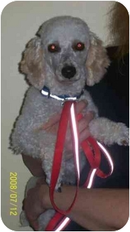 Poodle (Toy or Tea Cup) Mix Dog for adoption in Foster, Rhode Island - Hilton