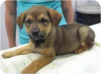 Shepherd (Unknown Type) Mix Puppy for adoption in Florence, Indiana - Calvin
