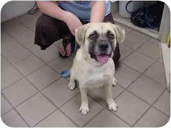 Pug/Beagle Mix Dog for adoption in Marshalltown, Iowa - Gypsy